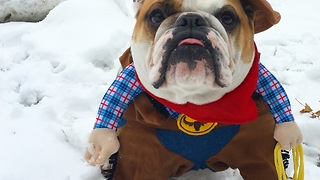 Bulldog channels inner cowboy with outfit - Video