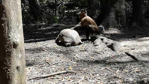 Monkey uses tortoise's shell to crack open food