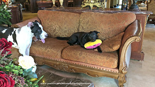 Funny little dogs steal Great Danes' toys