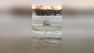Incredible Moment A Wild Polar Bear Plays With A Dog - Video
