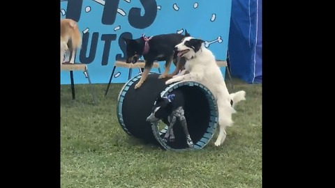 Dogs Work Together To Push Dog In Cart