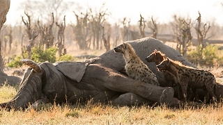 Hyena Crawls out of Elephant Carcass - Video