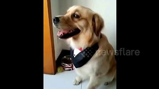 Golden retriever makes eyes at female owner - Video