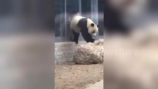 Giant panda urinates like a dog - Video