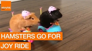 Pair of Adorable Guinea Pigs Go for Joyride - Video