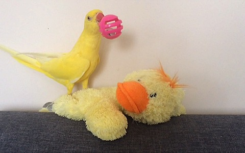 Parrot plays fetch better than most dogs