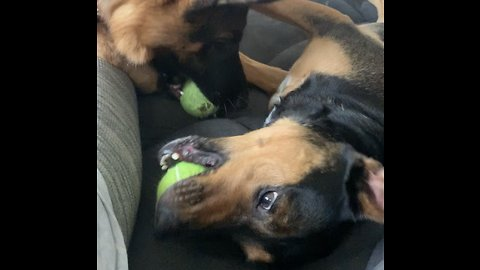 Pair of dogs engage in squeak-off with their toys