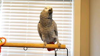African Grey parrot shows off his dance moves!