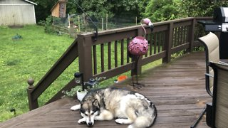 Dog guards birdhouse after baby Chickadee birds are born on Mother's Day