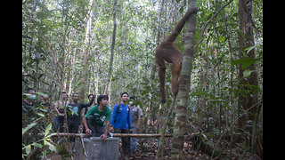 Rescued Orangutan Released Into the Wild After Eight Years of Rehabilitation - Video