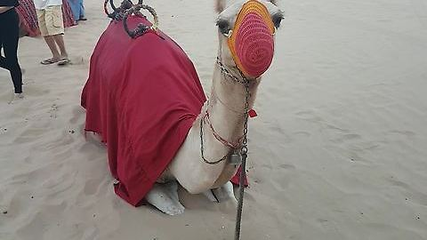See How Camel Reacts To The Camera!! ADORABLE