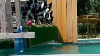 Border Collie pup steals brother's toy when he drops it in the pool