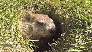 Wild gopher settles down for nap time - Video