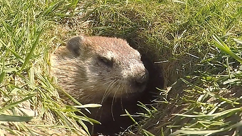Wild gopher settles down for nap time
