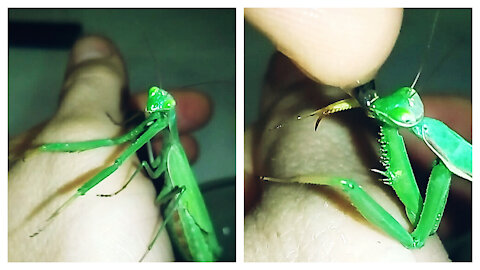 Mantis drinks water from human hand