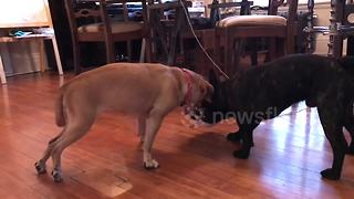 Pudge the paralysed puggle gets 'pug-induced rehab' - Video