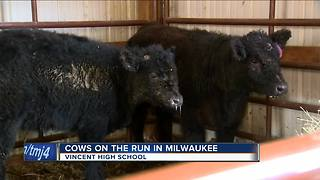 Cows escape Vincent High School, wander Milwaukee streets - Video