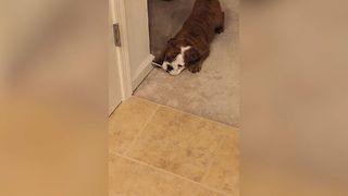 Baby Bulldog's Unusual Chew Toy - Video