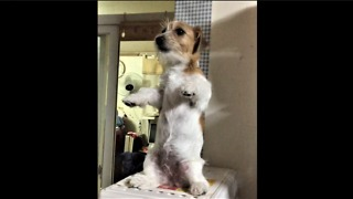Jack Russell performs incredibly adorable trick