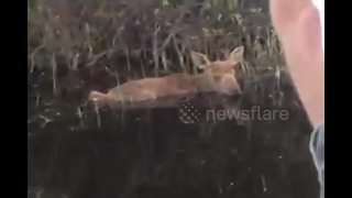 Fishermen Rescue Moose Calf Fallen In Lake - Video