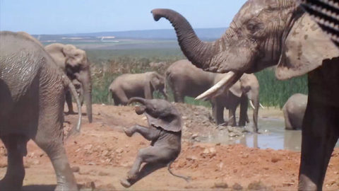 Rare Footage Of Baby Elephant Being Taught A Tough Lesson