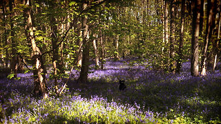 Dog frolics about in beautiful bluebell meadow - Video