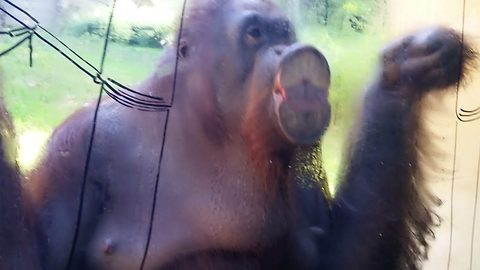 Pre-spring cleaning – orangutan cleans enclosure glass