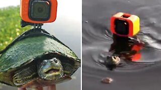 Pet turtle swims in pond with GoPro attached to his shell