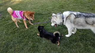 Husky mediates tension between two dogs - Video