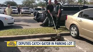 Deputies catch gator in parking lot in Sarasota County - Video