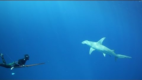 Hammerhead shows why spearfishing is a team sport