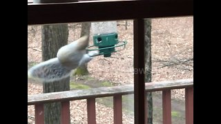 Hilarious Moment Squirrel Is Caught Spinning From Bird Feeder