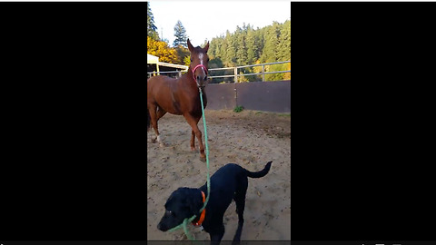 Dog leads horse around by pulling on rope