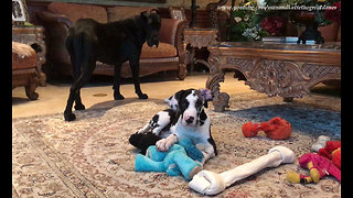 Great Dane Puppy Loves Playing With Jumbo Bone  - Video