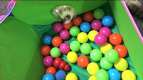 Ferrets have fun in the new ball arena