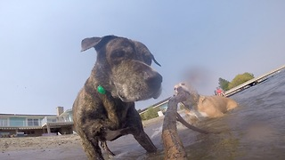 Dogs chase GoPro attached to stick - Video