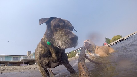 Dogs chase GoPro attached to stick