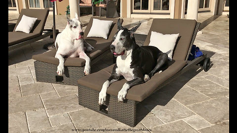 Happy Senior Great Dane Relax on Patio Loungers