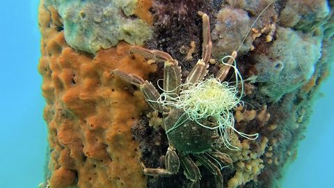Scared Crab Freed From Fishing Line