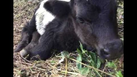 Rare Lakenvelder Cow Born in Keaau, Hawaii