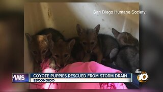 Coyote puppies rescued from storm drain