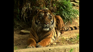 Endangered Tiger Cubs Born In The USA - Video