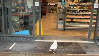 Clever seagull walks into store and steals a sandwich