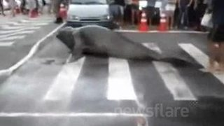 Elephant Seal Waddles Onto Busy Brazil Street Crossing - Video
