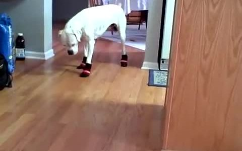 Boxer struggles to walk in snow boots