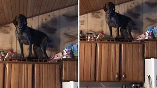 Naughty pointer caught standing on top of cabinets goes viral