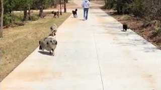 Animals Join Lucky Human for a Lovely Walk - Video