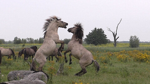 Fighting wild horse gets help from friend during scuffle