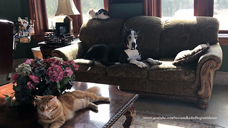 Big Dog Likes To Nap With The Kitty Cats - Video