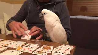 Harley the Cockatoo Loves Playing Card Games - Video